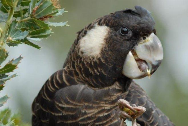carnabys, female - feeding on d1359006501878331876..jpg